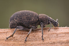 Extreme magnification - Weevil. Macro shot Royalty Free Stock Photo