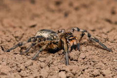 Extreme magnification - Wolf Spider, full body shot Stock Photos