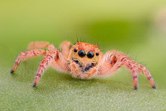 Extreme magnification - Yellow jumping spider on a leaf Stock Image