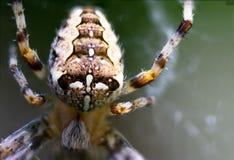 Extreme Nahaufnahme der europ?ischen Gartenkreuzspinne auf Spinnennetz lizenzfreie stockbilder