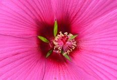 Extreme Nahaufnahme der Hibiscusblume Lizenzfreies Stockfoto