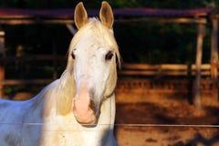 Extreme Nahaufnahme der schönen jungen grauen farbigen arabischen Stute gegen natürlichen Hintergrund an der goldenen Stunde des  lizenzfreie stockfotos