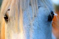 Extreme Nahaufnahme der schönen jungen grauen farbigen arabischen Stute gegen natürlichen Hintergrund an der goldenen Stunde des  lizenzfreie stockfotografie
