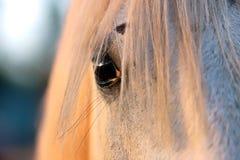 Extreme Nahaufnahme der schönen jungen grauen farbigen arabischen Stute gegen natürlichen Hintergrund an der goldenen Stunde des  stockfotografie