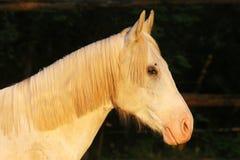 Extreme Nahaufnahme der schönen jungen grauen farbigen arabischen Stute gegen natürlichen Hintergrund an der goldenen Stunde des  stockfotos