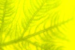Extreme Nahaufnahme des frischen grünen Blattes als Hintergrund Stockfotos