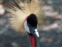 Extreme Nahaufnahme Grey Crowned Crane Stockbilder