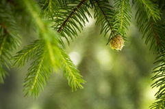 Extreme Pine tree closeup Royalty Free Stock Photo