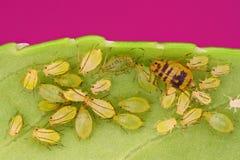 Extreme scharfe und ausführliche Ansicht von grünen Blattläuse Lizenzfreie Stockfotografie
