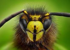 Extreme scharfe und ausführliche Studie des Wespekopfes lizenzfreies stockfoto