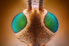 Extreme scherpe en gedetailleerde mening van Langpootmug (Tipula) hoofd met metaal groene die ogen met microscoopdoelstelling word Stock Foto