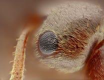Extreme scherpe en gedetailleerde studie van het hoofd van de formicamier   Stock Foto