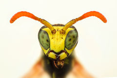 Extreme sharp closeup of wasp head Royalty Free Stock Photography