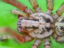 Extreme sharp and detailed photo of spider Stock Photos
