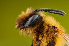 Extreme sharp and detailed study of Bee Royalty Free Stock Photos