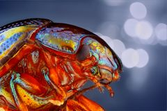Extreme sharp and detailed study of Chrysolina Stock Image