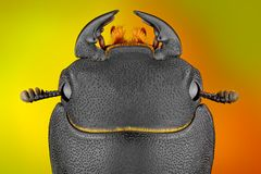 Extreme sharp and detailed study of Dorcus Stock Photos