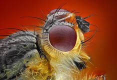 Extreme sharp and detailed study of dung fly Royalty Free Stock Photos
