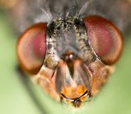 Extreme sharp and detailed study of fly head stacked from many shots taken with microscope lens.  Stock Image
