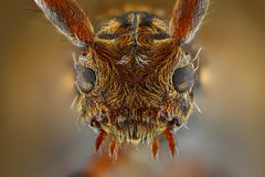 Extreme sharp and detailed study of Pogonocherus. Hispidus head taken with microscope objective stacked from many shots into one photo Royalty Free Stock Photography