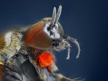 Extreme sharp and detailed study of Simuliidae fly Stock Images