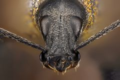 Extreme sharp and detailed study of weevil Royalty Free Stock Photos