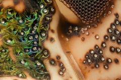 Extreme vergroting - Bruine Marmorated stinkt de details van Insectenhalyomorpha halys bij 20x Royalty-vrije Stock Afbeelding
