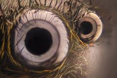Extreme vergroting - het Springen spinogen bij 20x Stock Fotografie