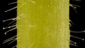 Extreme vergroting - Ooievaarsbek, Ingeboren haren en tector bij 20x Stock Afbeeldingen