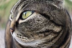 Extreme wide angle view of the face of a cat. Extreme wide angle view of the face of a brown cat Royalty Free Stock Image