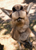 Extremely close up of a kangaroos face. Taken with a 10mm lens, about 6 inches away from the lens stock photography
