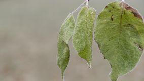 Extremely close-up view of green frozen leaves are tremble in the wind in winter day stock video footage