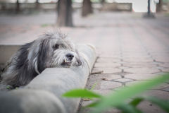 Extremely hairy and dirty dog Stock Photos