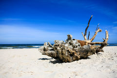 Extremely large piece of driftwood on the sandy beach Royalty Free Stock Photos