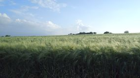 Young Barley Field in the Summer stock footage