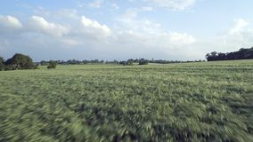 Young Barley Field in the Summer stock video