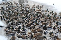 Extremely many ducks swim in the freezing pond in search of food. royalty free stock photography