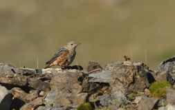 An extremely rare juvenile Rock Thrush Monticola saxatilis perched on top of a pile of rocks in Wales, UK. Stock Photo