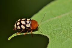 Tiny leaf beetle foraging on a leaf. An extremely small leaf beetle of the Cryptocephalus species in the guttulatellus group, only found in South Texas. This Royalty Free Stock Photo