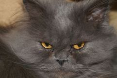 Extremely smoky Persian cat looks fierce, but it is not quite so. royalty free stock image