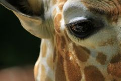 Extremer Abschluss oben des Giraffenauges lizenzfreies stockfoto