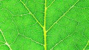 Extremer Makroabschluß der grünen Blattneuen ausführlichen schroffen Oberflächenstruktur herauf das Laut summen in die zunehmende