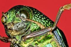 Extremer Makrotigerkäfer Stockfoto