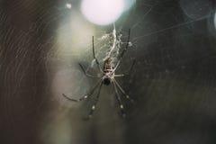 Extremer Nahaufnahmeschuß einer Schwarzweiss-Spinne, die ein Spinnennetz in einem Wald strickt stockbild