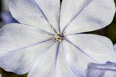 Extremes Makrofoto der kleinen blauen Blume des Bleiwurz auriculata Extremabschlusses oben - Stockbilder