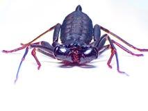 Extremes Makroschussauge von Zygoptera-Libelle in wildem Stockfotos