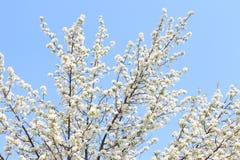 Extremidad del flor de la manzana en un fondo del cielo Fotos de archivo