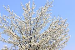 Extremidad del flor de la manzana en un fondo del cielo azul Imagen de archivo