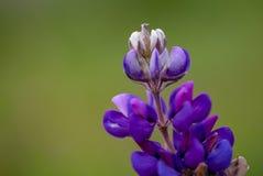 Extremidad del una flor del altramuz fotografía de archivo libre de regalías