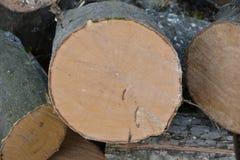 Extremidade da árvore do Hornbeam Foto de Stock Royalty Free